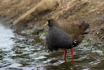 Title: 1st Black-tailed Native-hen